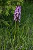 Orchis purpurea X O. militaris ?