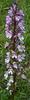 Orchis purpurea X O. militaris