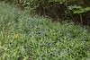 Lithospermum purpurocaeruleum