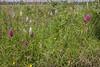 Anacamptis pyramidalis and Dactylorhiza maculata