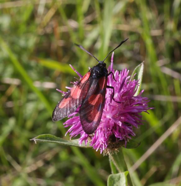 Zygaena filipendula on Centaurea spec.