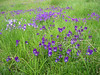Viola sudetica (NL: sudetenviool)