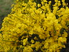 Cytisus scoparius,  broom, (NL: brem)