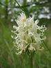 """Orchis simia """"Alba"""""""