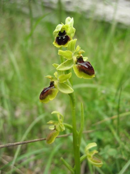 Ophrys sphegodes (NL: spinnenorchis)