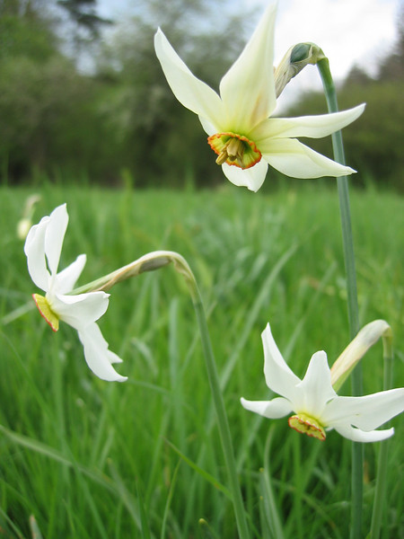 Narcissus poeticus (NL: dichters narcis)