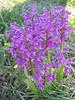 Orchis morio (NL: harlekijn orchis)