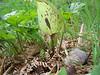 Arum maculatum (NL: gevlekte aronskelk)