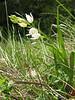 Cephalanthera longifolia (NL: wit bosvogeltje)
