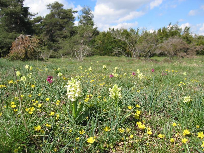 Dactylorhiza sambucina (habitat)