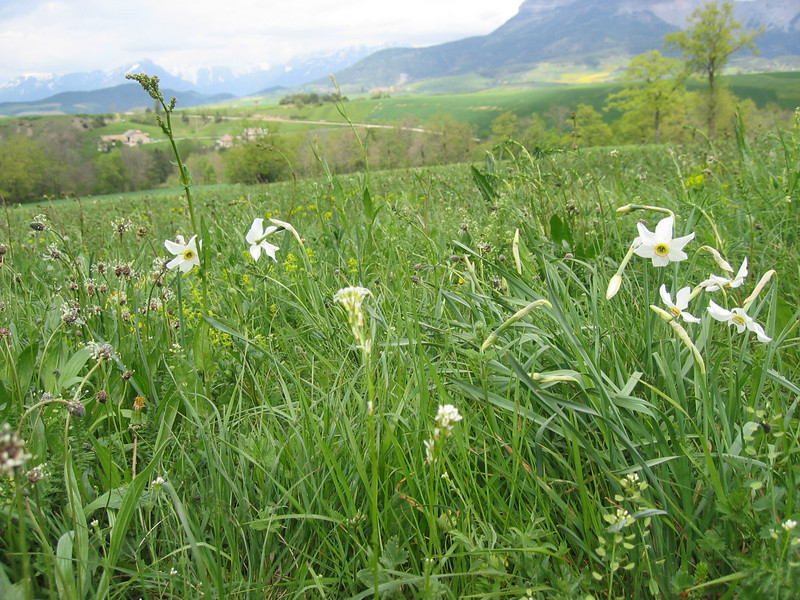 Meadow, habitat of Narcissus poeticus (NL: dichters narcis)