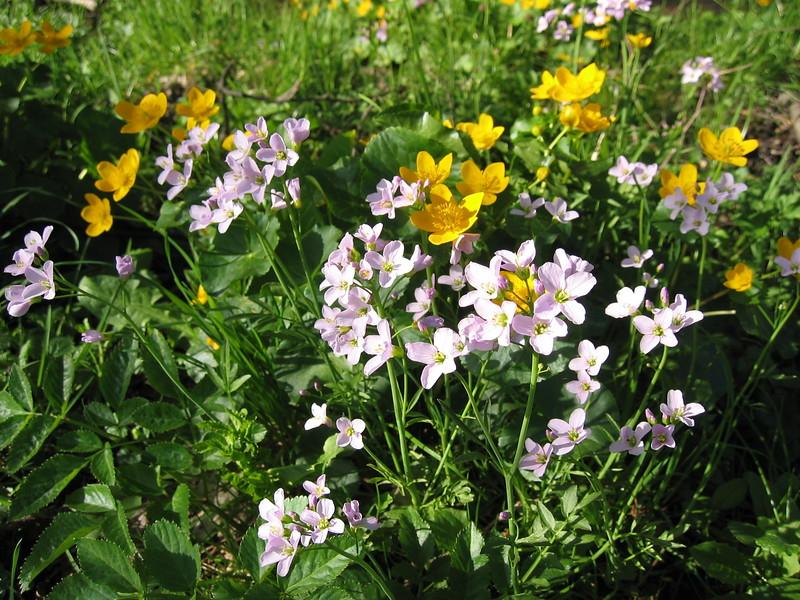 Caltha palustris and Cardamine pratensis (Habitat, wet meadows )