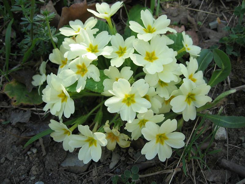 Primula vulgaris (NL: stengelloze sleutelbloem)