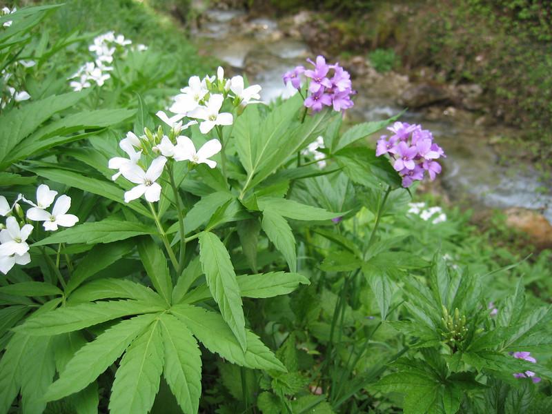 Dentaria heptaphylla (syn. Cardamine heptaphylla)