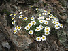 Leucanthemopsis alpina (NL: alpenmagriet)