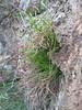Asplenium septentrionale (NL: Noordse streepvaren)