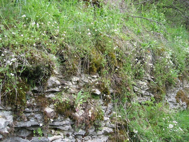 Saxifraga granulata (NL: knolsteenbreek)