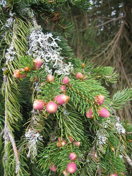 Picea abies (NL: fijnspar)