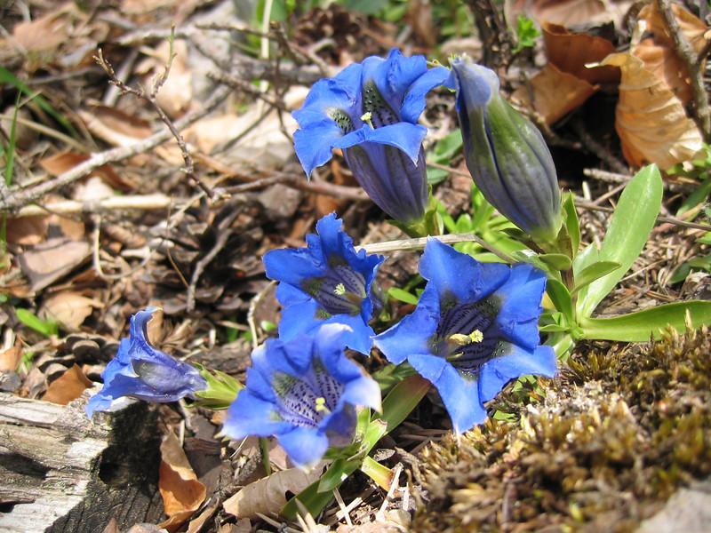 Gentiana clusii var. costei of angustifolia (NL: stengelloze gentiaan)