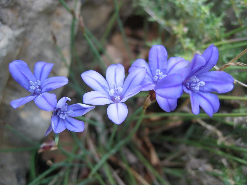 Aphyllanthes monspeliensis (NL: bieslelie)