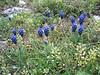 Muscari neglectum (NL: blauwe druif)