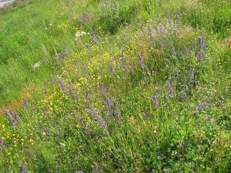 Salvia pratensis (NL: veldsalie)