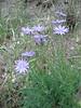 Lactuca perennis (NL: blauwe sla)