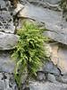Asplenium fontanum (fern)
