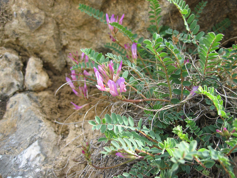 Astragalus monspessulanus (NL: Montpellier-tragant)