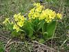 Primula veris X Primula vulgaris (hybride)