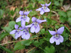 Viola riviniana (NL: bosviool)