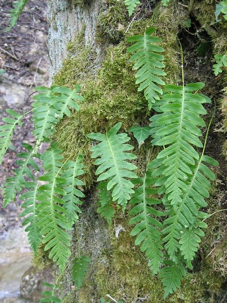 Polypodium vulgaris (gewone eikvaren)
