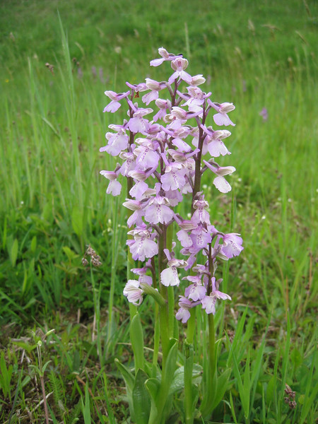 Orchis morio (NL: harlelijn orchis)