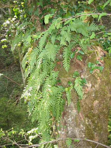 Polypodium vulgaris (NL: gewone eikvaren)