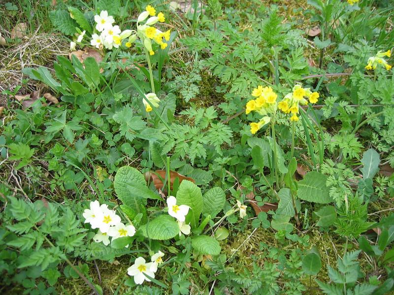Primula veris and P. vulgaris (NL: echte- en stengelloze primula)