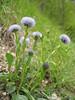 Globularia punctata (NL: gewone kogelbloem)