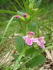 Melittis melissophyllum (NL: bastaard melisse)