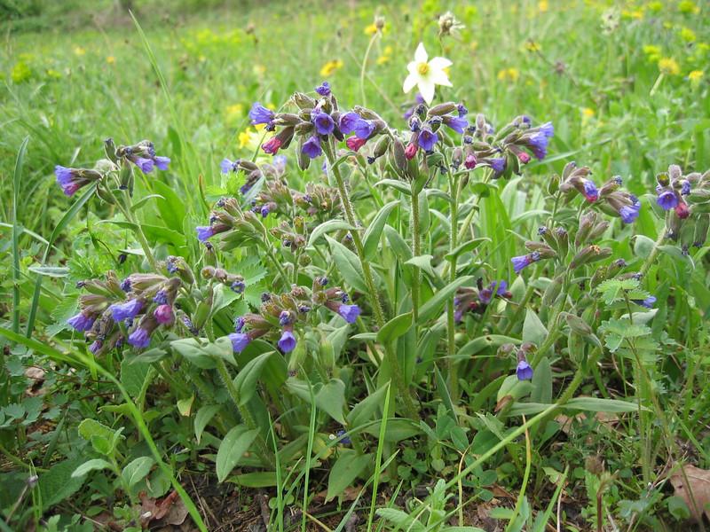 Pulmonaria and Narcissus poeticus (NL: longkruid en dichters narcis)