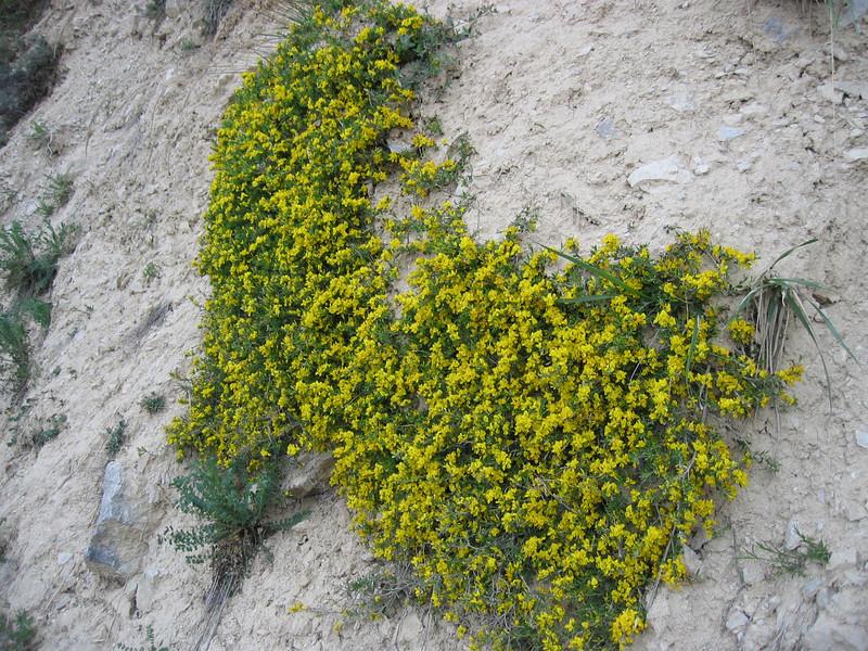 Cytisus decumbens (NL: kruipende brem)