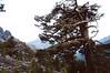 Pinus nigra ssp. laricio