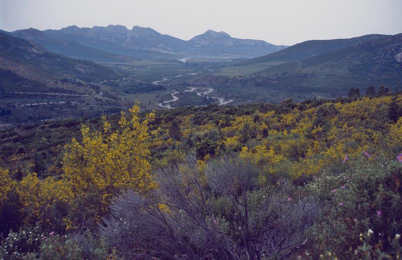 Ulex parviflorus, landscape, the mountains of Corsica