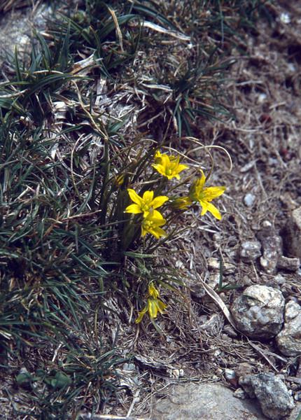 Gagea bohemica ssp. corsica