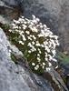 Saxifraga pedemontana ssp. cervicornis