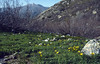 Gagea bohemica ssp. corsica, near Rif. Manganu 1600m