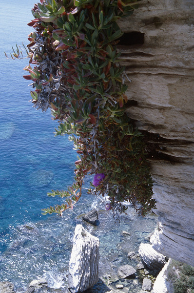 Carpobrotus acinaciformis, Corsica coast near Bonifacio