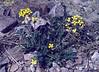 Sinapis alba (white mustard)