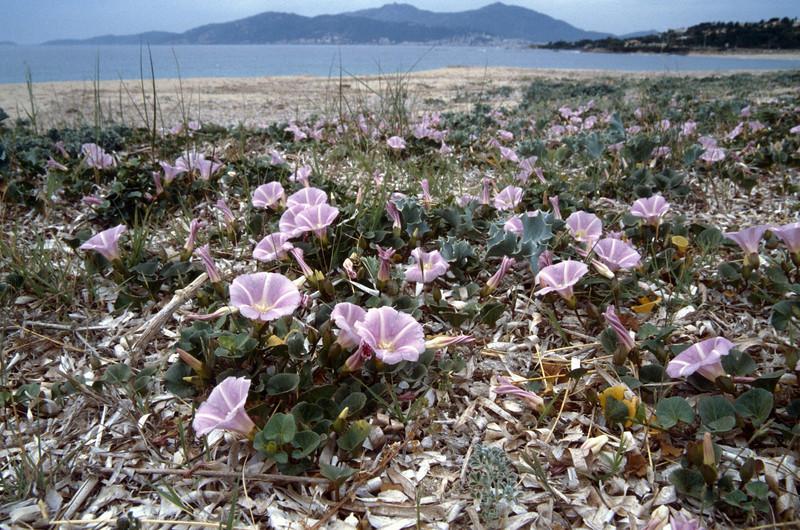 Calystegia soldanella, (NL: zeewinde) Corsica coast