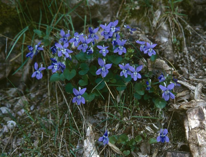 Viola spec. (forest, Vizzavona)
