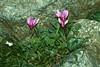 Cyclamen repandum ssp. repandum