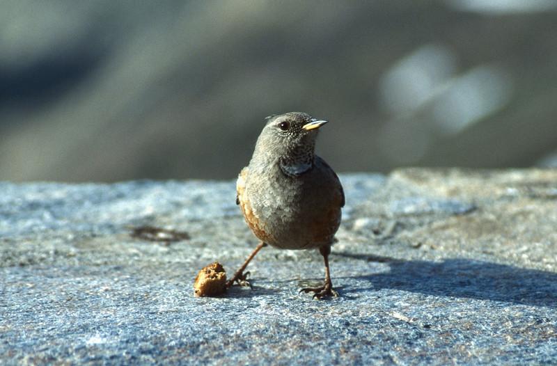 Prunella collaris, (Alpine Accentor) (NL: Alpenheggemus)